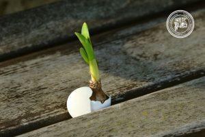 Zdjęcie przedstawia fragment powierzchni blatu zbitego ze starych drewnianych brązowych desek. W jednej ze szpar między deskami znajduje się połowa białej skorupki jajka, z której wystaje cebulka hiacynta wraz z młodą zieloną łodygą. Obok leży na boku druga połowa skorupki. W prawym górnym roku widnieje logotyp Filii.